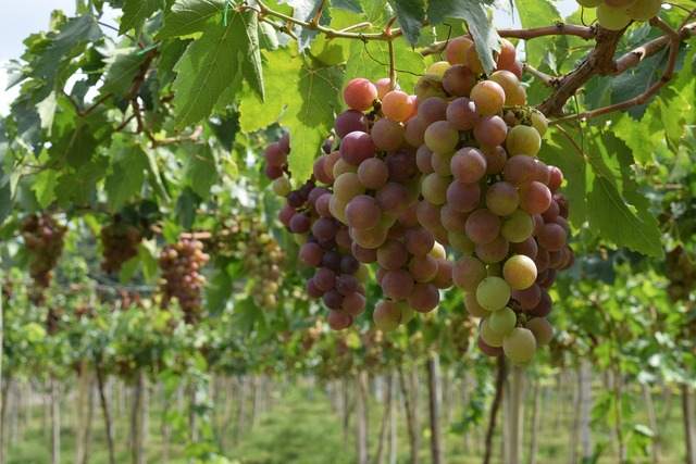 Grapes vineyard vine.