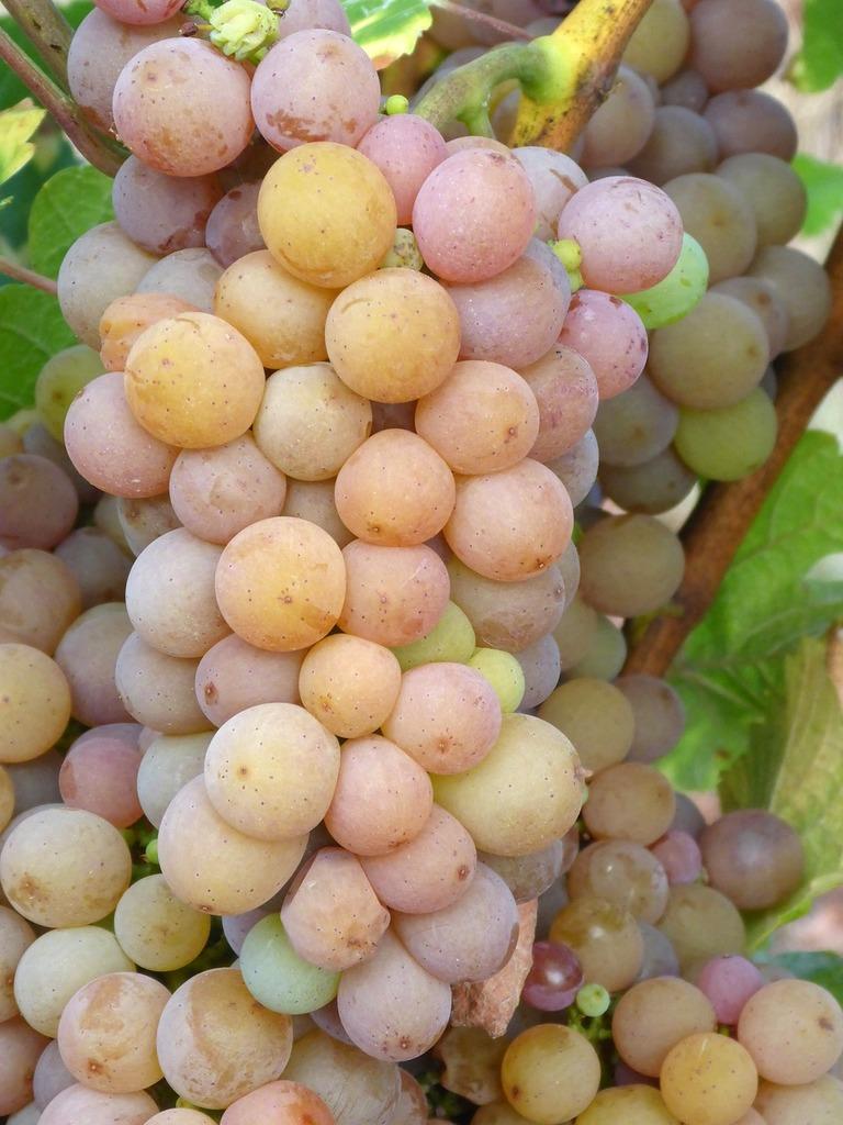 Grapes vineyard white wine, nature landscapes.
