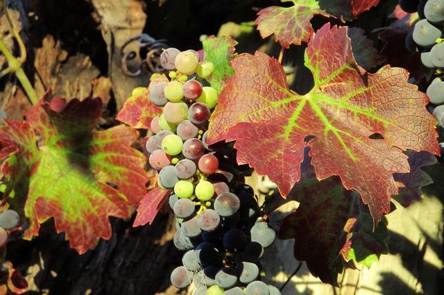 Grapes vineyard wine, nature landscapes.