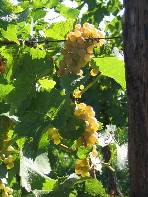 Grapes white vine.