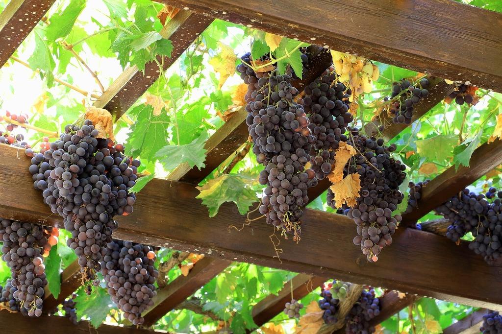 Grapes wine fruit, food drink.