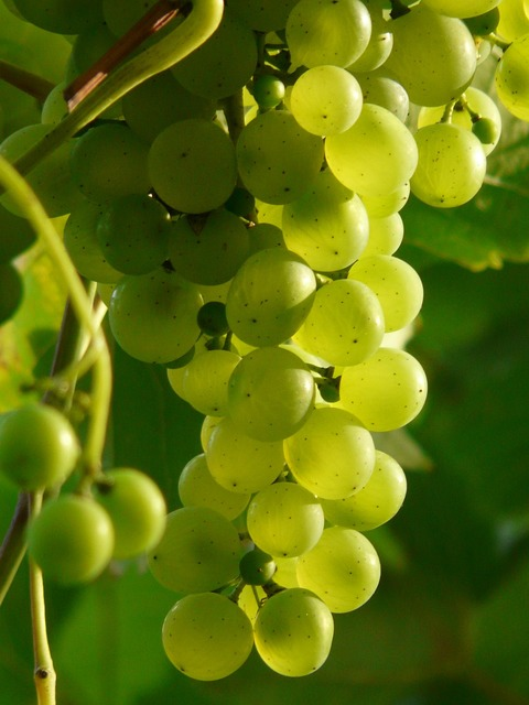Grapes wine plant, nature landscapes.