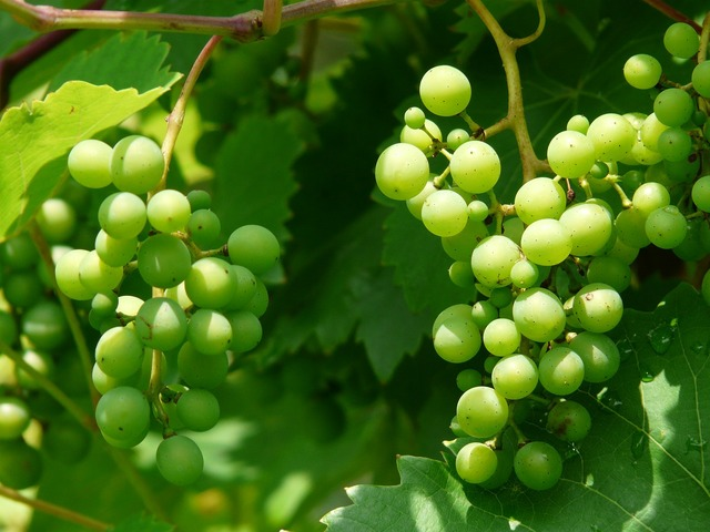Grapes wine plant, nature landscapes.