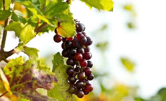 Grapes wine screw.