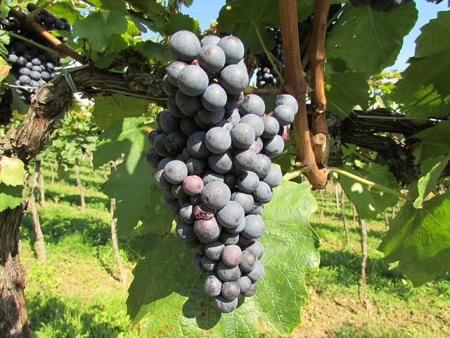 Grapes wine vine.