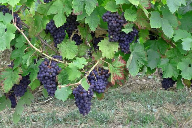 Grapes wine vintage, food drink.