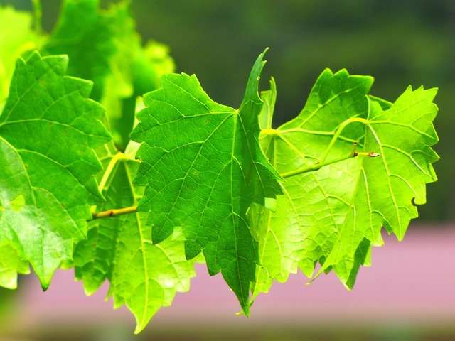 Grapevine vine plant, nature landscapes.