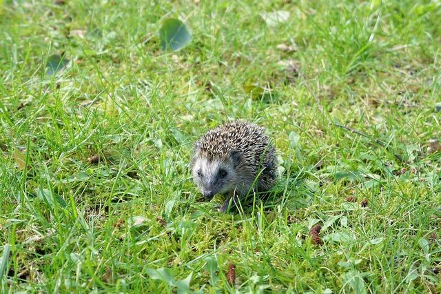 Grass garden hedgehog.