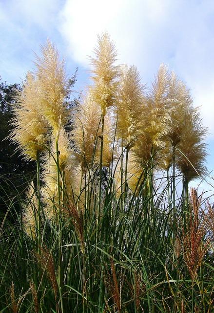 Grass pampas grass pampas.