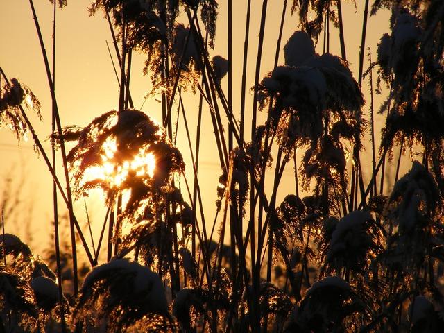 Grass phragmites poales.