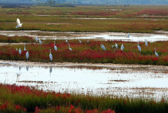 Great white herons scattering sedge.