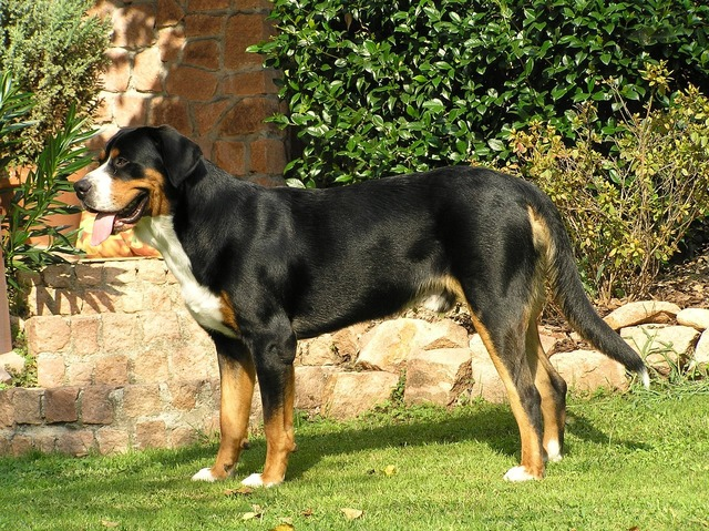 Greater swiss mountain dog pup swiss mountain dog, emotions.
