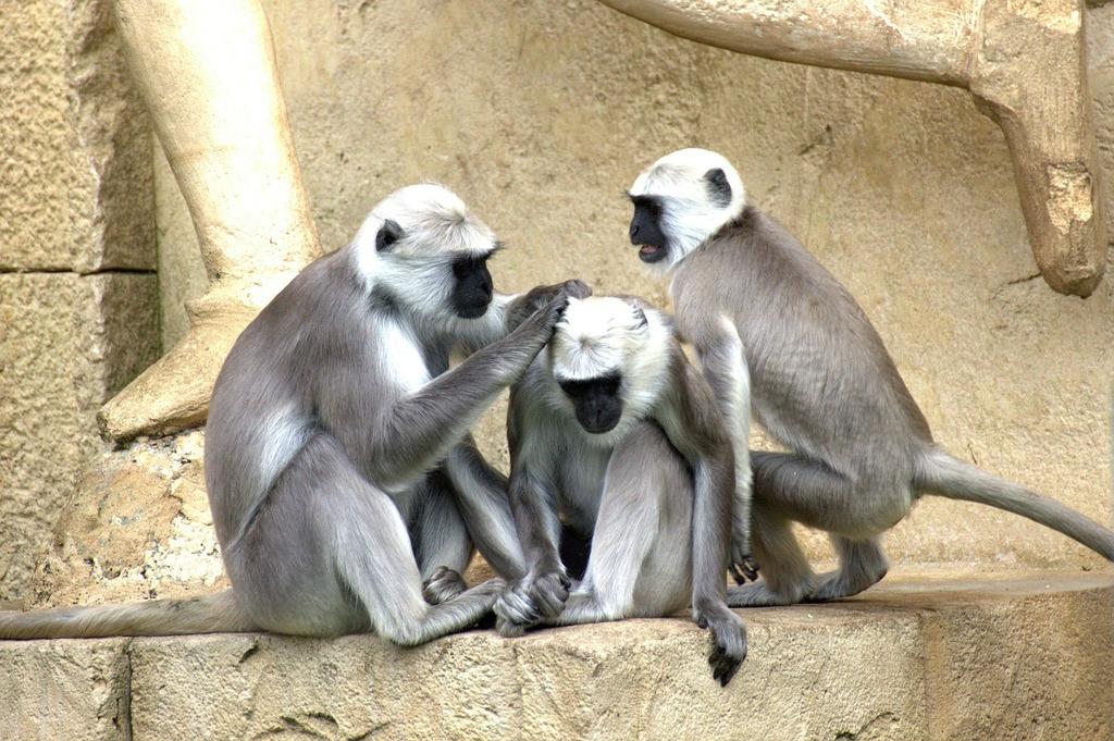 Green monkeys monkey old world monkey.