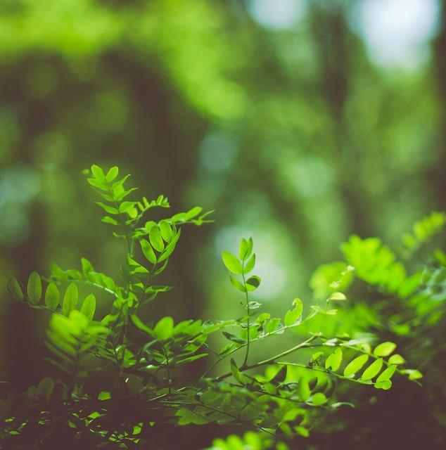 Greens grass acacia.
