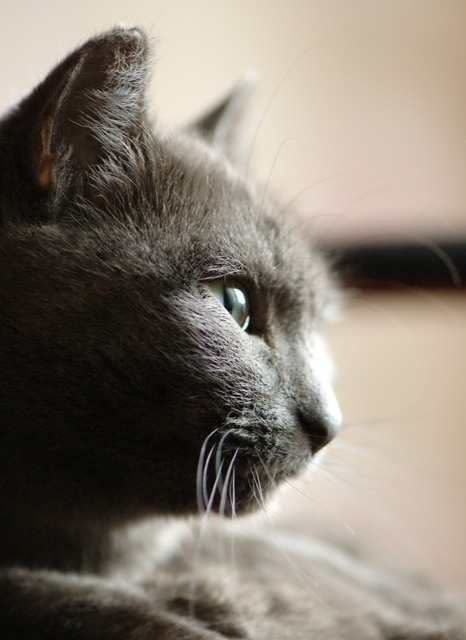 Grey cat portrait, animals.