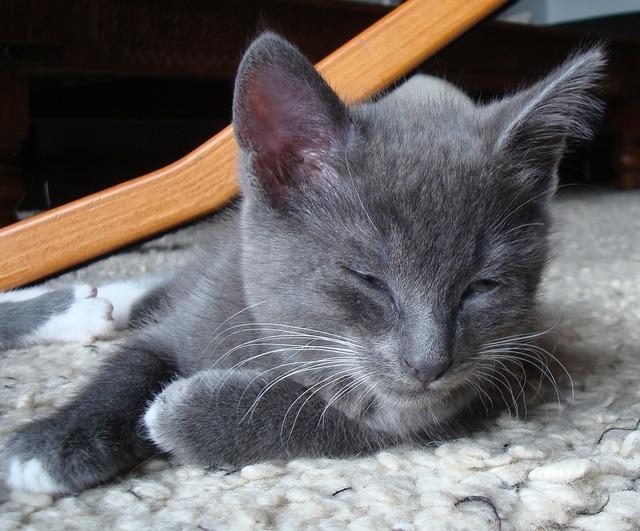 Grey gray kitten, animals.