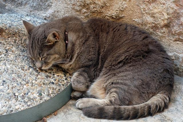 Grey tabby cat, animals.