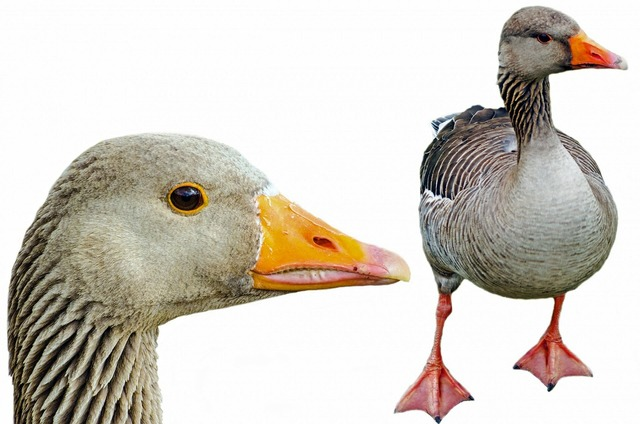 Greylag isolated pets, nature landscapes.