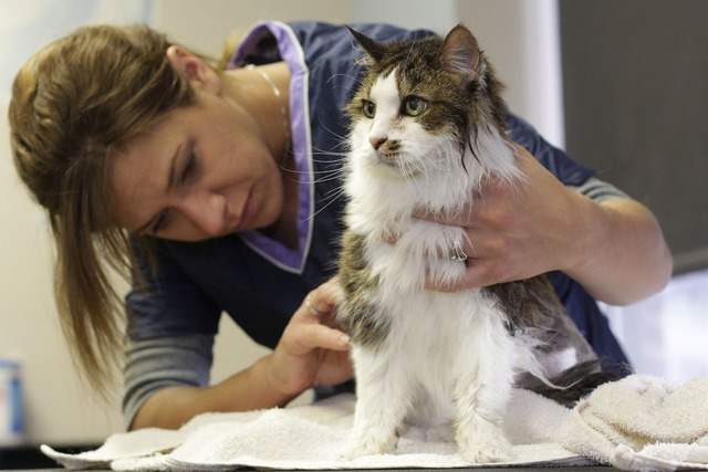 Grooming cat pet, animals.