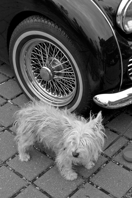 Guard dog oldtimer guard, animals.