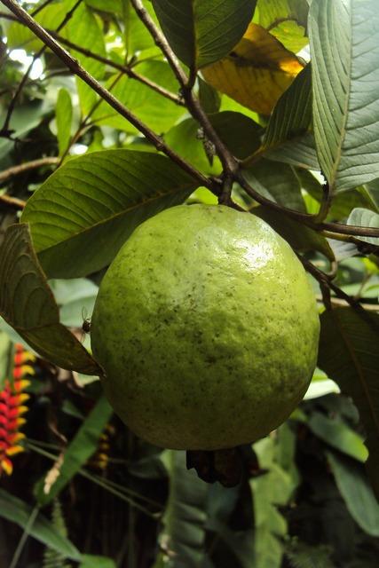 Guava fruit guava fruit, food drink.