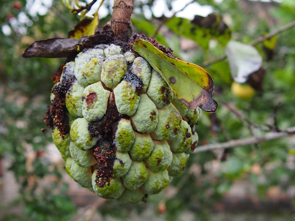 Guava fruit rot, food drink  - PICRYL Public Domain Image