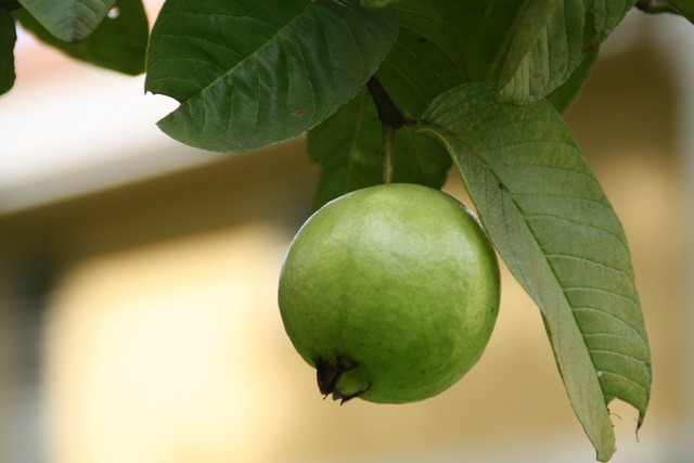 Guava green fruits.