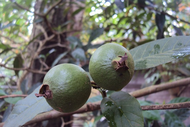 Guava unripe fruit green, food drink.