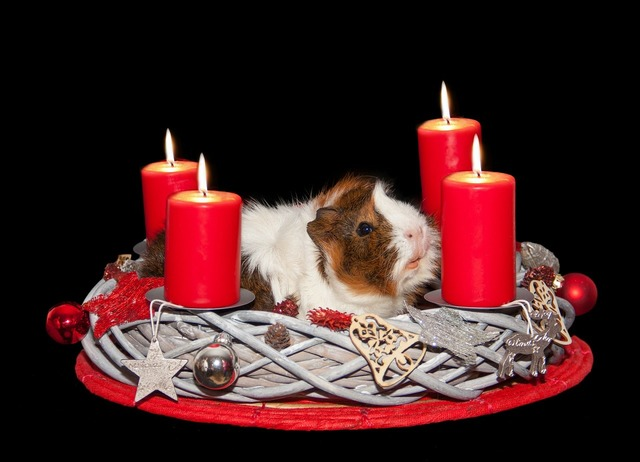 Guinea pig advent wreath christmas.