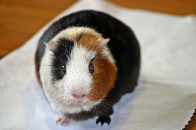 Guinea pig amanda from the front, animals.