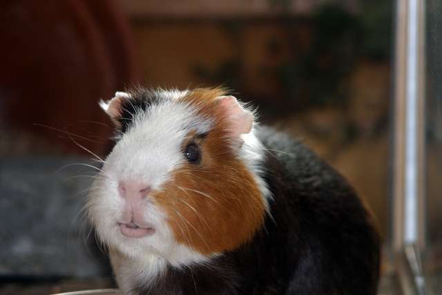 Guinea pig amanda pet, animals.