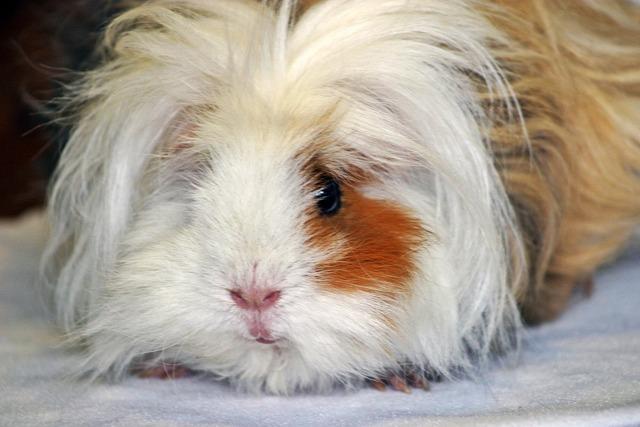Guinea pig lunkarya long haired guinea pigs, animals.