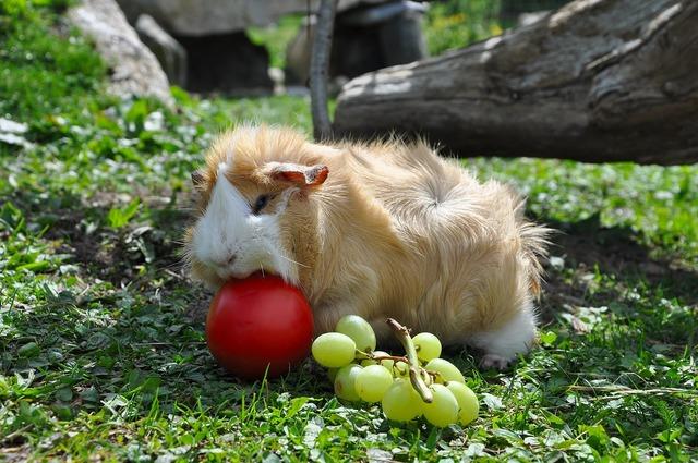 Guinea pig pet nager, animals.