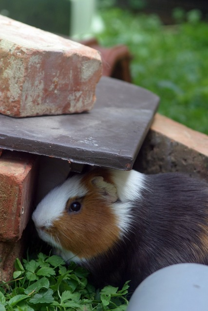 Guinea pig sea ​​pig house rodent, nature landscapes.
