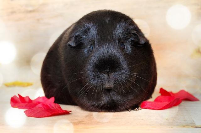Guinea pig smooth hair black, animals.