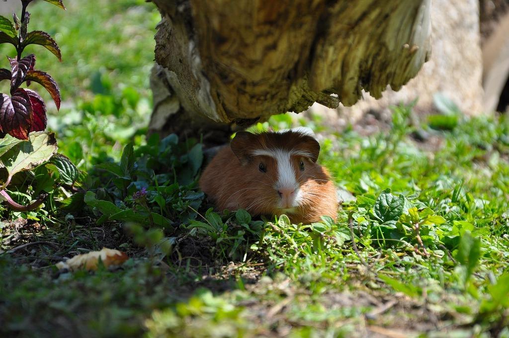 Guinea pig young animal pet, animals.