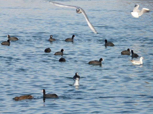 Gulls coots water.