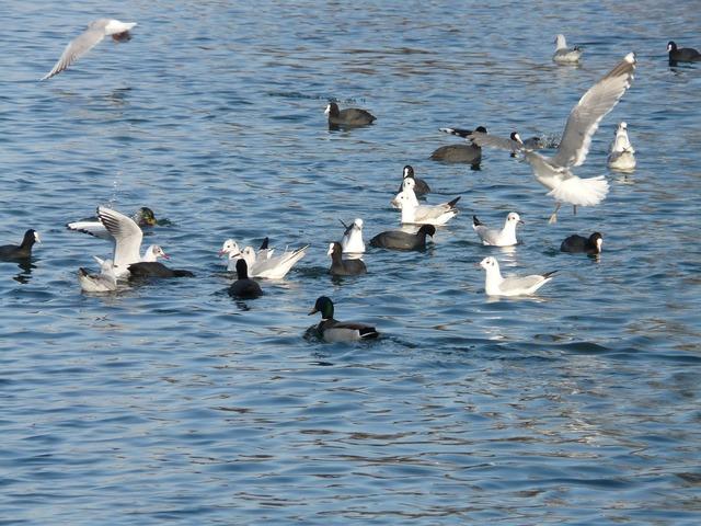 Gulls ducks coots.