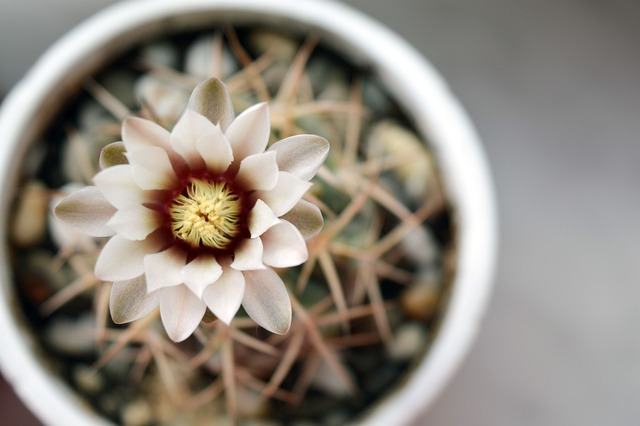 Gymnocalycium cactus flower cactus, nature landscapes.