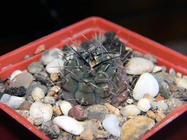 Gymnocalycium cactus succulent, nature landscapes.