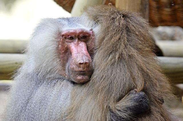 Hamadryas baboon ape, emotions.