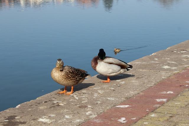 Hamelin ducks birds, nature landscapes.