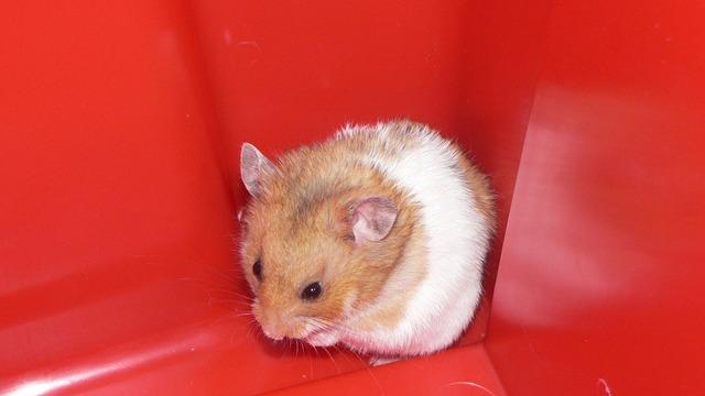 Hamster pet domestic, animals.