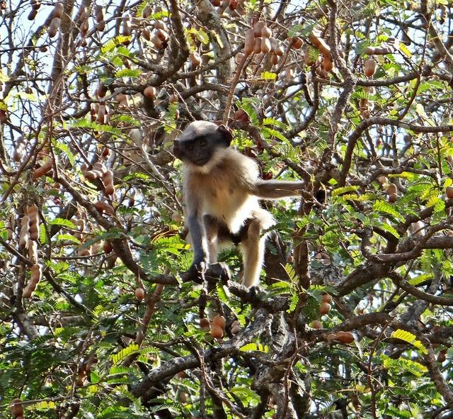 Hanuman langur primate.