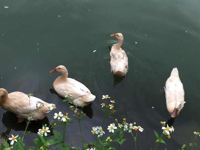 Happy duck child lake, emotions.