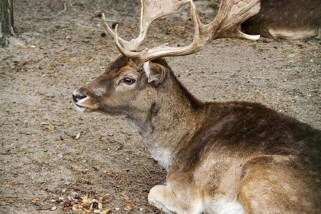 Hart mammal animal, animals.