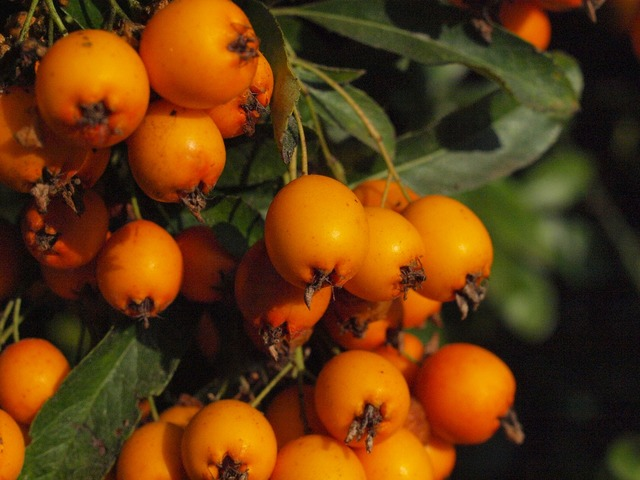 Haw fruit fruits, food drink.