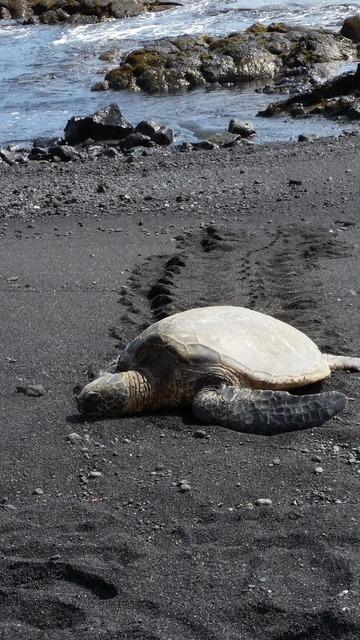 Hawaii sea turtle black sand, travel vacation.