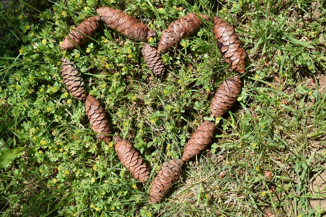Heart tap pine cones, nature landscapes.