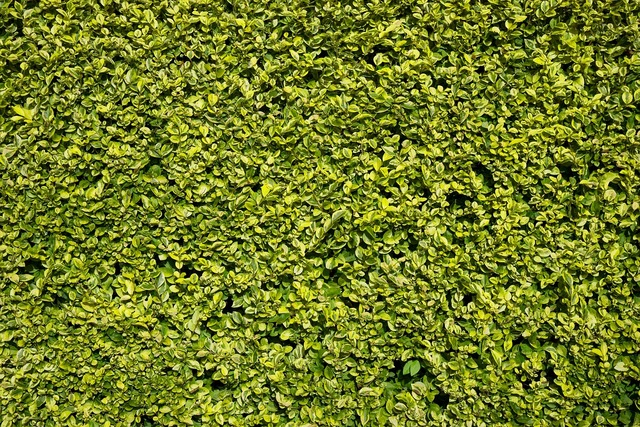 Hedge green leaf, backgrounds textures.